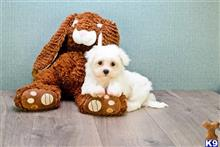maltese puppy posted by dcpuppies