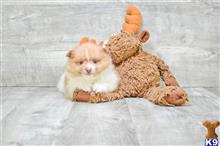 pomeranian puppy posted by dcpuppies