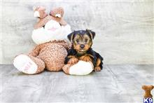 yorkshire terrier puppy posted by dcpuppies