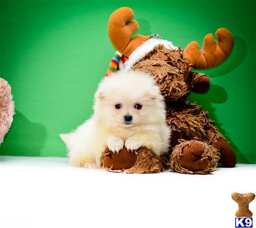 teacup pomeranian puppies washington state dog breeds