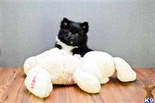 pomeranian puppy posted by dcpups