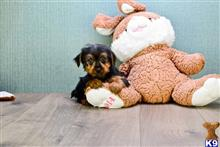 yorkshire terrier puppy posted by dcpups