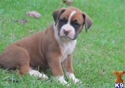boxer puppy posted by deansansosns