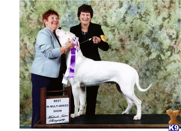 dogo argentino breeders in california. Guardian pups - Dogo Argentino
