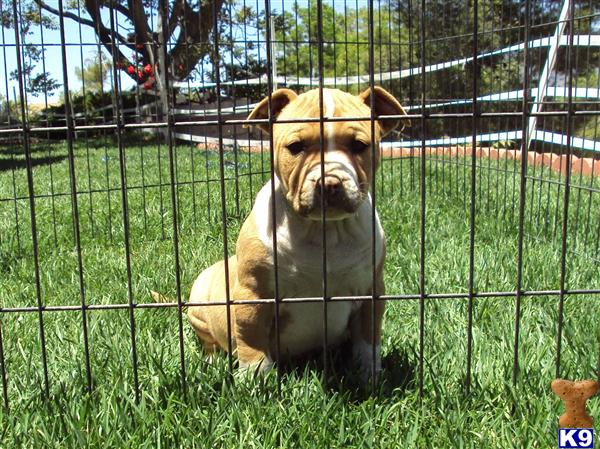 american pitbull puppies pictures. American Pit Bull Puppies in