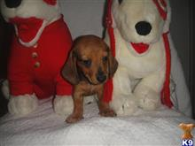 dachshund puppy posted by dedcali