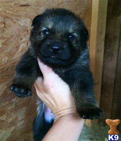 german shepherd puppy posted by deemo