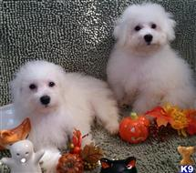 bichon frise puppy posted by deja329