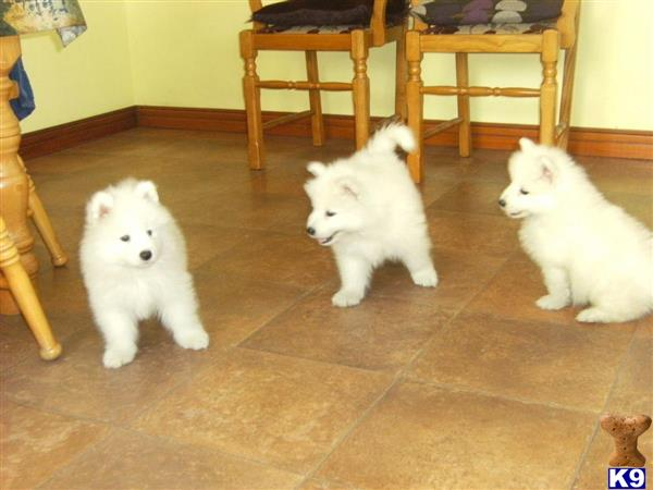 samoyed puppy posted by derickfai001