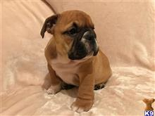 english bulldog puppy posted by dericknom