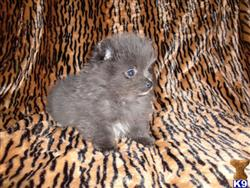 pomeranian puppy posted by destjenn