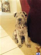 chinese shar pei puppy posted by dfdsa