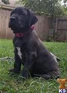 great dane puppy posted by dfwdynamicdanes
