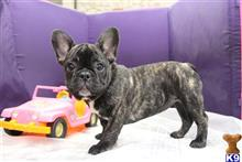 french bulldog puppy posted by dhomant