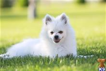pomeranian puppy posted by diapazon64