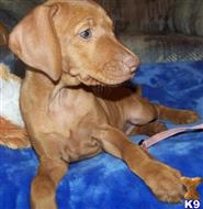 vizsla puppy posted by diazmainmuis