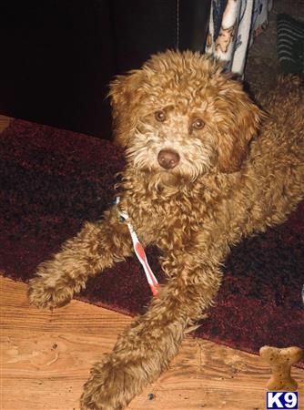 Poodle Stud Dog Norbert 18 Months Old