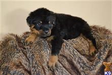 rottweiler puppy posted by divaoflionspaw