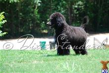 poodle puppy posted by dixiestandards