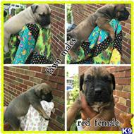 south african boerboel puppy posted by dkboerboels1