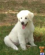 great pyrenees puppy posted by dmskeels