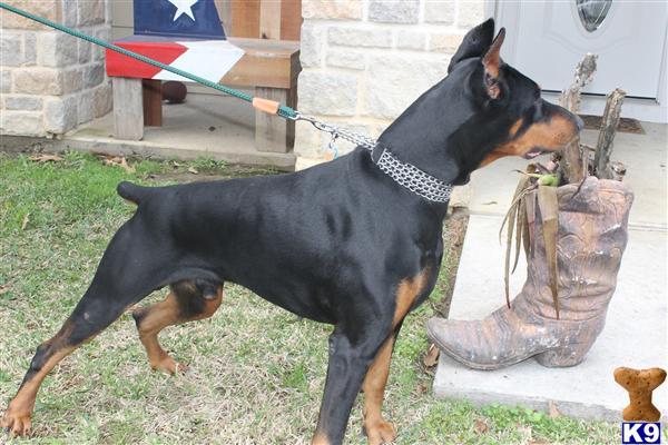 Doberman Pinscher Stud Dog: EAST TEXAS DOBERMANS 10 Years old