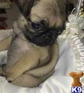 pug puppy posted by donaldlunce