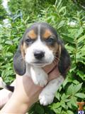 beagle puppy posted by donhunter