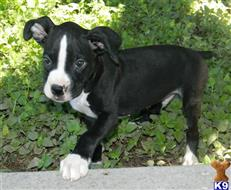 boxer puppy posted by donnfawn