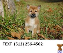 shiba inu puppy posted by dorothymark