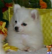 pomeranian puppy posted by dorothyspencer
