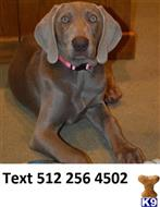 weimaraner puppy posted by douglascaro