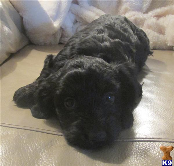Maltipoo Puppy For Sale Rare Black Maltipoo 5 Years Old