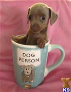 dachshund puppy posted by doxiedivas
