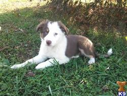 Large Selection Of Border Collie Puppies For Sale K9studcom