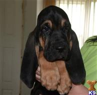 bloodhound puppy posted by drinkhorn2