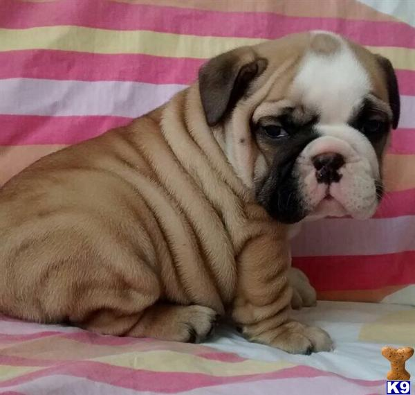 english bulldog puppy posted by ebp820