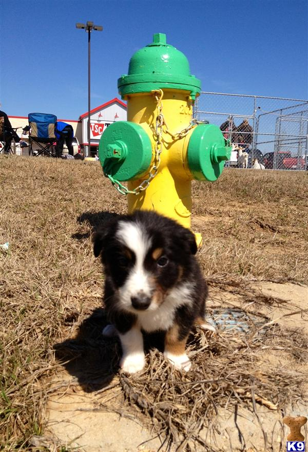 ABCA Reg. Tri color Border Collie puppies. A Border Collie pup for