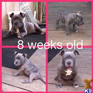 american pit bull puppy posted by ecbk24