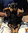 rottweiler puppy posted by ed gatson