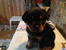 rottweiler puppy posted by edgatson
