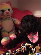 labradoodle puppy posted by edudley18