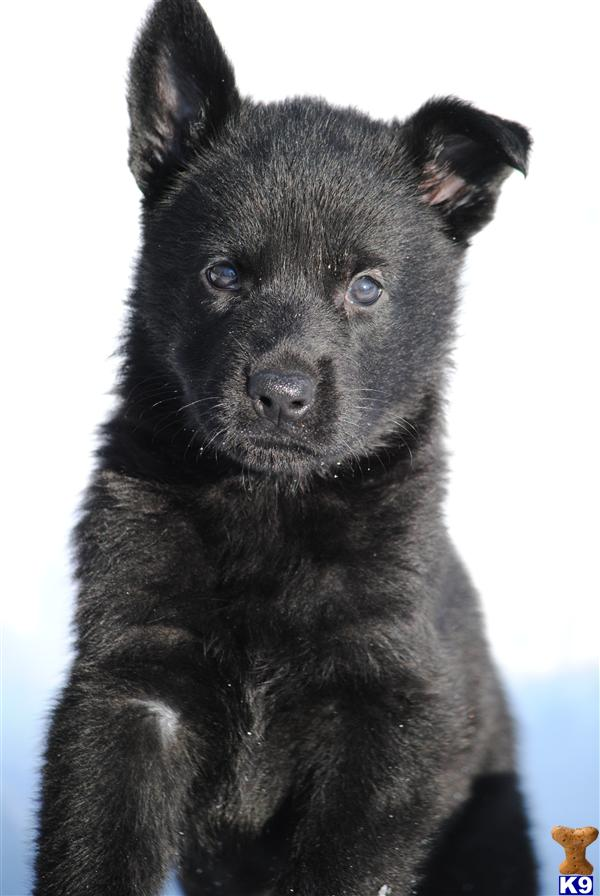 german shepherd puppies for sale in md document moved 2441