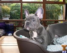 french bulldog puppy posted by ekane Beasley
