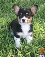 pembroke welsh corgi puppy posted by ekane Beasley