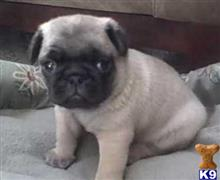 pug puppy posted by ekane Beasley