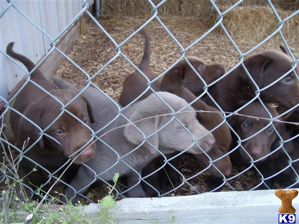 Labrador Retriever Puppies in IL