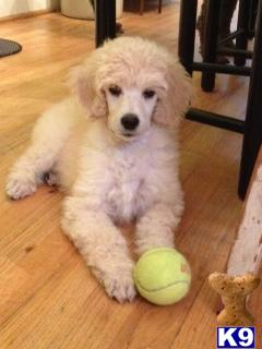 poodle puppy posted by elizabethmeehan