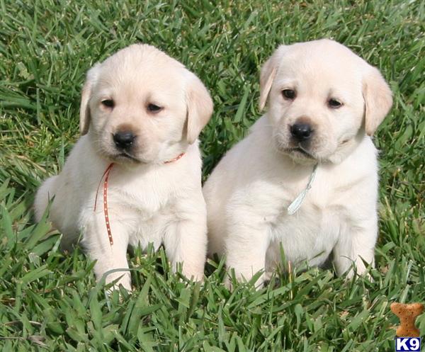 California labrador retriever puppies