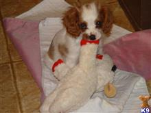cavalier king charles spaniel puppy posted by elliepayne49